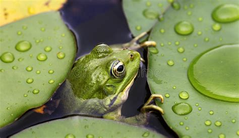 frog  lily pad royalty  stock photography image