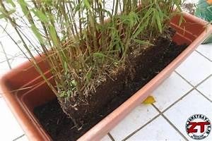 Bambous En Pot : jardin rempoter une plante bambou ~ Melissatoandfro.com Idées de Décoration