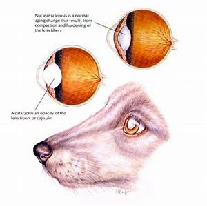 VetVine - Pet Health Information - Canine Cataracts