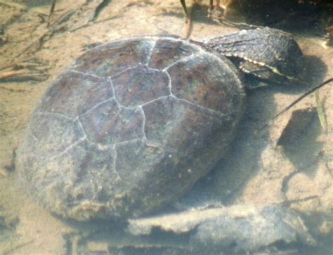 Musk Turtle Shell Shedding by Conflicting Food Facts Sand Silt Turtle Forum
