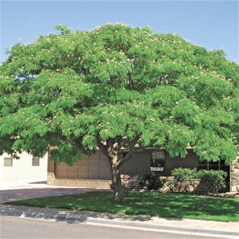 best trees for coverage optimizing residential shade tree coverage alliance for community trees news