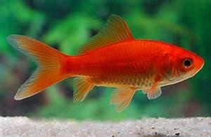 Goldfisch Haltung Im Teich : was ist das f r ein fisch in meinem gartenteich fische ~ A.2002-acura-tl-radio.info Haus und Dekorationen