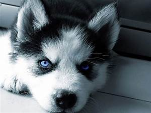 Husky blue eyes.