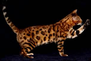 bengal cat images animal 4you bengal cat