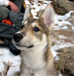 17 Best images about West Siberian Laika on Pinterest ...