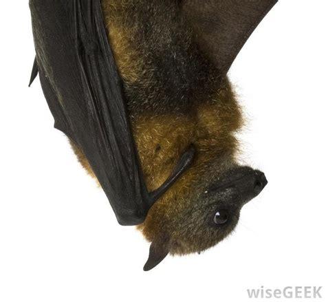 nocturnal bats crepuscular diurnal sleep mean during night awake animal upside down bat hanging animals terms dawn