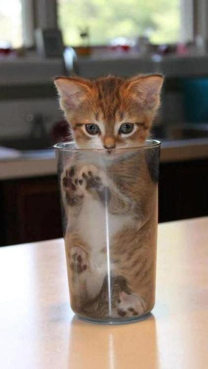 tall glass  cat  cute kittens animaux