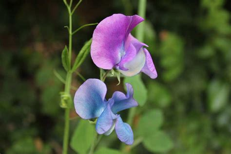 sweet pea pod easy edible gardening