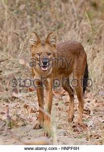 Indian Wild Dog or Dhole (Cuon alpinus) hunting in Kanha ...