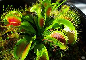 How do carnivorous plants digest their meal and remove the ...