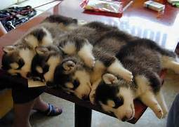 On Teh Cute you ll find the best cute animal pictures  cute puppy      Adorable Husky Puppy Sleeping