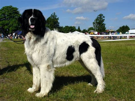 10 Of The Most Expensive Dog Breeds In The World Page 2 Of 5