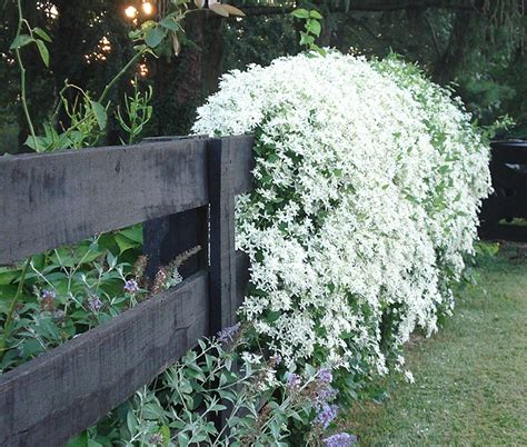 Fastclimbing Vines For Your Garden  Quiet Corner