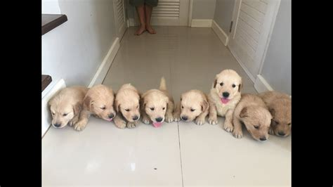 golden retriever puppies newborn   weeks time lapse