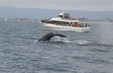 Charter Boats Monterey Bay blue whales again the weekend santa whale