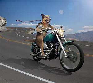 Dog Driving Motorcycle