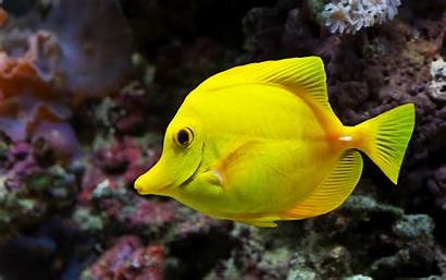 Fish Yellow Fishes Wallpapers Tropical Pez Wordpress