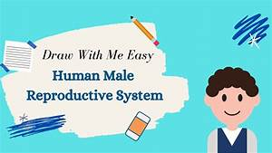 How To Draw Male Reproductive System