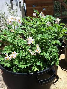 How To Grow Potatoes In A Trash Can