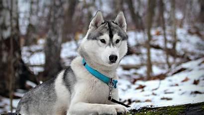 Siberian Huskies Wallpapers Husky 1600 Windows Hcpr