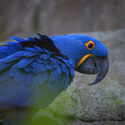 zoo hyacinth animals macaws macaw chester square