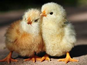 Save the Baby Chickens! | floralflanneletc  Chick