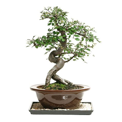 brussels bonsai outdoor chinese elm ct ce  home