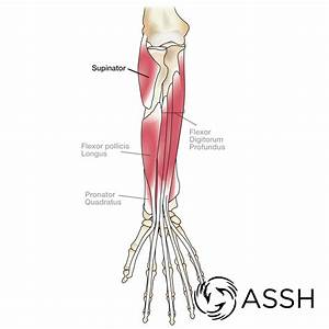 Arm Muscle Diagram Labeled