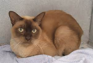 burmese cats 301 moved permanently