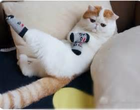 socks for cats caterville cats wearing socks