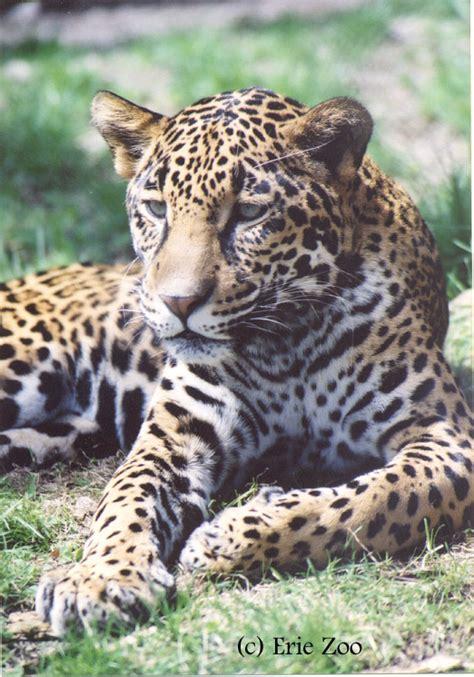 zoo ssp jaguar jaguars photographs