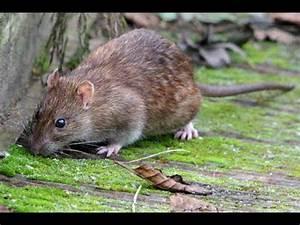 Piege à Rat Efficace : pi ge rat 100 efficace youtube ~ Dailycaller-alerts.com Idées de Décoration