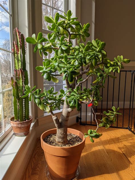Jade Plant Pruning Step by Step (With Photos) - Grow It Inside