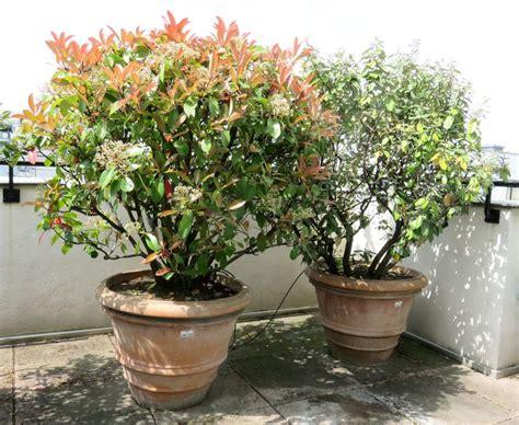 2 plantes dexterieur en pot rond de 70 cm de diametre par 52 cm de haut hauteur des plantes 1 metre