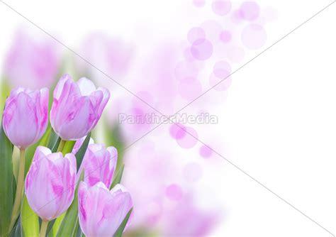 blumen bilder hintergrund rosa blumen hintergrund stock photo 10848502