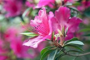 Rhododendron Blüht Nicht : rhododendron schneiden so geht 39 s ~ Frokenaadalensverden.com Haus und Dekorationen