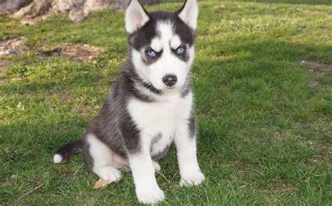 registered siberian husky puppies beautiful black