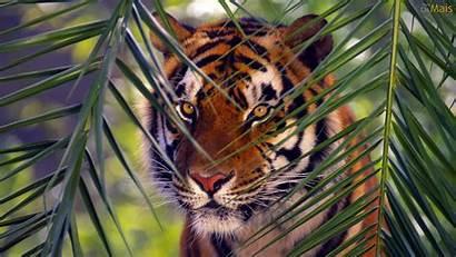 Tigre Papel Parede Wallpapers Tiger Tigres Fundo