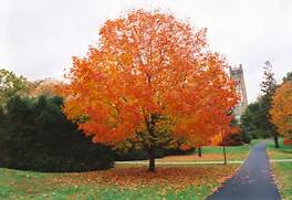 Click to view full-siz...Sugar Maple Tree