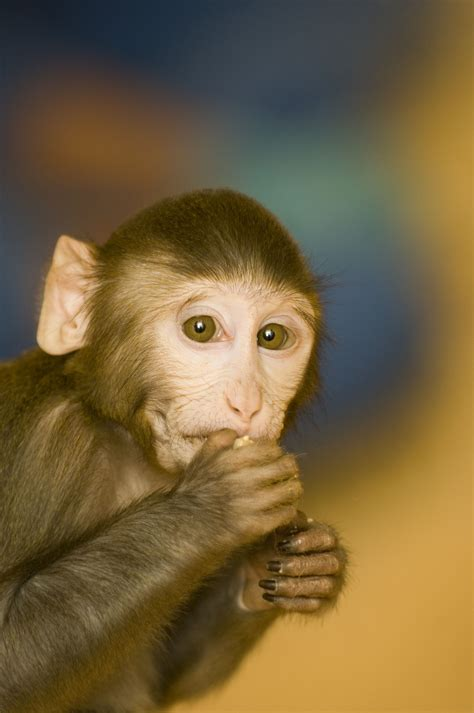 About macaques