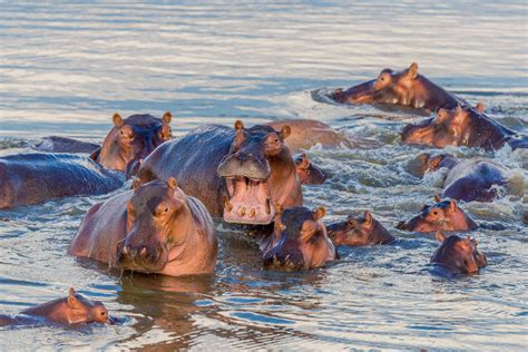 hippo river horse hippopotamus hippos facts swim fast water underwater heavy called adult lifestyle