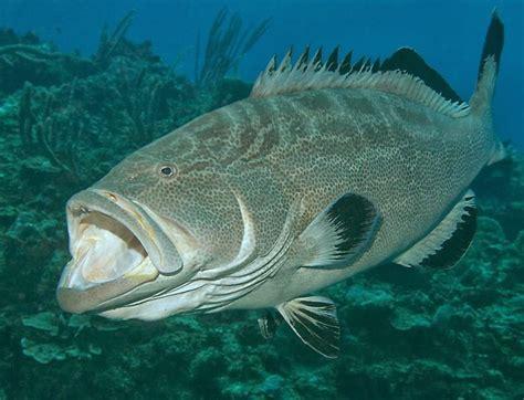 grouper dna barcoding bonaci