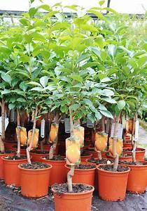 Online Pflanzen Kaufen : hagebutte pflanzen kaufen hundsrose heckenrose hagebutte pflanzen kaufen pflanzen hagebutte ~ Watch28wear.com Haus und Dekorationen