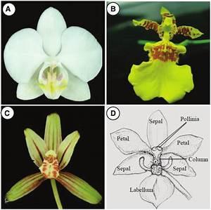 Floral Diagrams Of Phalaenopsis  Oncidium And Cymbidium
