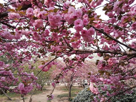 Free Images : flower pink spring china tree redbud