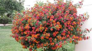 et les autres arbres et arbustes pepinierelelann p 233 pini 232 res vente d arbustes plantes vertes