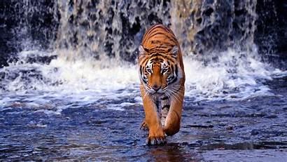 Tiger Wallpapers Bengal Tigre Backgrounds Computer Sfondi