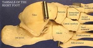 Foot Bones Images Lables