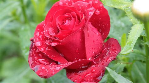 mind blowing hd red rose wallpaper allfreshwallpaper