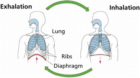 the mechanism of the respiration process in the human